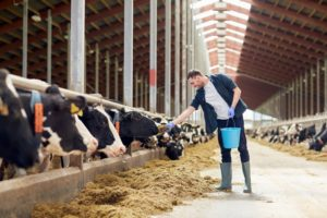 feeding the cattle inside barn