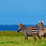 two zebras running